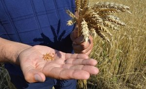 """We are exhausted from this weather"": cold weather hits harvest in Tatarstan"